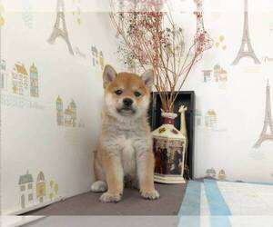 Shiba Inu Dog for Adoption in MANHATTAN, New York USA