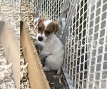 Small #18 Jack Russell Terrier
