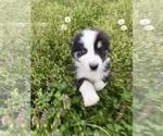 Small #15 Australian Shepherd