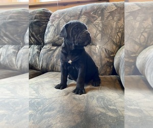Cane Corso Puppy for sale in LEWISBURG, PA, USA