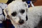 Bichon Frise Puppy For Sale in EPHRATA, PA, USA