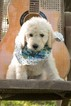 Labradoodle Puppies F1b CKC reg for Guardian Home
