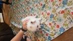 Pomeranian Puppy For Sale in OCHELATA, OK, USA