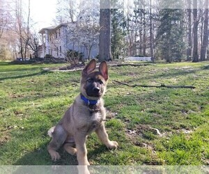 German Shepherd Dog Puppy for Sale in GRAFTON, Ohio USA
