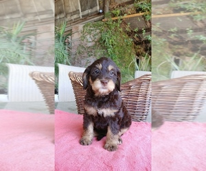 Labradoodle Puppy for Sale in FRESNO, California USA