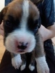 Boxer Puppy For Sale in LA PORTE, IN, USA