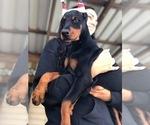 Puppy 2 Doberman Pinscher