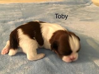 Shih Tzu Puppy For Sale in SANTA FE SPRINGS, CA, USA