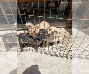 Cane Corso Puppy for sale in SANTA ANA, CA, USA