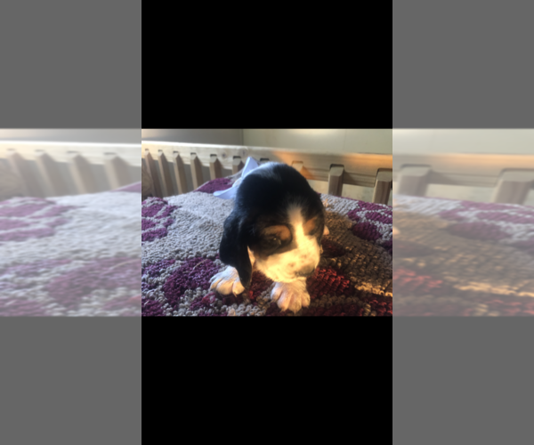 Medium Photo #5 Basset Hound Puppy For Sale in DALTON, GA, USA