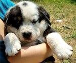 Puppy 1 Bernese Mountain Dog-Unknown Mix