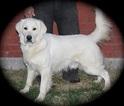 Golden Retriever Puppy For Sale in DENTON, TX, USA