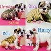 English Bulldogge Puppy For Sale in ALBRIGHT, WV,