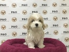 Poodle (Toy)-Shih Tzu Mix Puppy For Sale in TEMPLE CITY, CA, USA