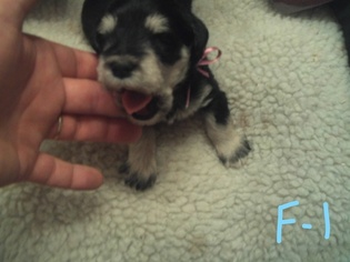 Schnauzer (Miniature) Puppy For Sale in BRIGHTON, TN