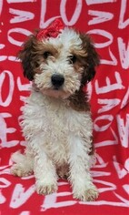 View Ad: Sheepadoodle Puppy for Sale near Pennsylvania, LANCASTER