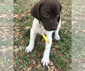 German Shorthaired Pointer Puppy for Sale in ALACHUA, Florida USA