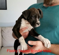 Boxer Puppy For Sale in CORYDON, IN, USA
