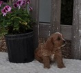 Cavapoo Puppy For Sale in ATWOOD, IL, USA