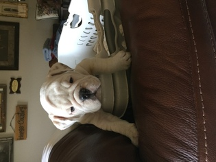 Bulldog Puppy For Sale in MEEKER, OK, USA