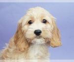 Puppy 8 Cocker Spaniel-Poodle (Miniature) Mix