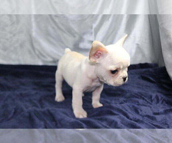 Medium Photo #5 French Bulldog Puppy For Sale in HOUSTON, TX, USA