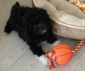 Poodle (Toy)-Shiranian Mix Puppy for sale in OLATHE, KS, USA