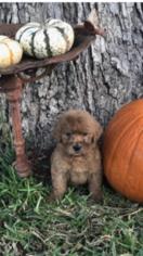 Goldendoodle-Poodle (Standard) Mix Puppy For Sale in FARMERVILLE, LA, USA