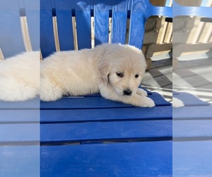 English Cream Golden Retriever Puppy for sale in PARKER, CO, USA