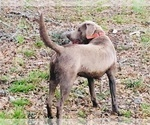 Labrador Retriever Puppy For Sale in UNION, MS, USA