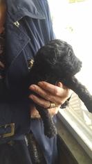Labradoodle Puppy for sale in STRASBURG, VA, USA