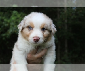 Australian Shepherd Puppy for Sale in ROCK SPRING, Georgia USA