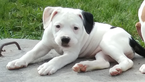 American Bulldog Puppy For Sale in KEYMAR, MD