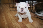 Bulldog Puppy For Sale in BROOKFIELD, WI,