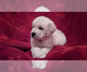 English Cream Golden Retriever Puppy for Sale in QUAKERTOWN, Pennsylvania USA