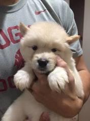 Alaskan Malamute Puppy For Sale in BREMERTON, WA