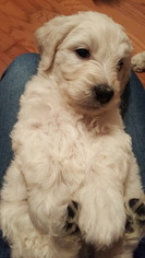 Goldendoodle Puppy For Sale in HIGHLANDS, NC