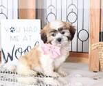Kerri Female Teddy Bear Puppy