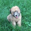 Soft Coated Wheaten Terrier Puppy For Sale in MOUNT VERNON, OH, USA