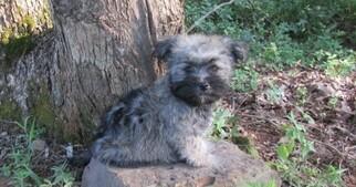 Havanese Puppy for Sale in ALREAD, Arkansas USA