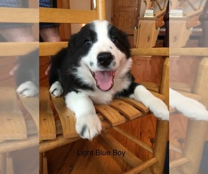 Border Collie Puppy for sale in GREENEVILLE, TN, USA
