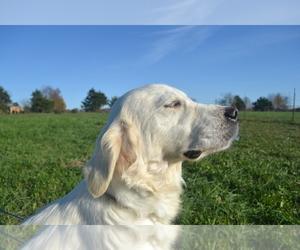 English Cream Golden Retriever Dogs for adoption in CEDAR GAP, MO, USA
