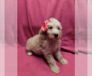 Goldendoodle Puppy for Sale in VOLANT, Pennsylvania USA