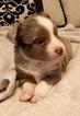 Miniature Australian Shepherd Puppy For Sale in MAGNOLIA, TX, USA
