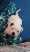 Puppy 2 American Bulldog