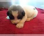 Puppy 6 Anatolian Shepherd-Great Pyrenees Mix