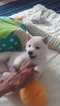 Shiba Inu Puppy For Sale in GLADSTONE, NM, USA