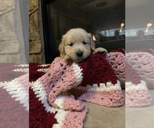 Golden Retriever Puppy for sale in GALENA, NV, USA
