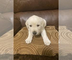 Labrador Retriever Puppy for Sale in CLARKESVILLE, Georgia USA