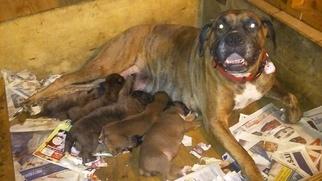 Boxer Puppy For Sale in MOKENA, IL, USA